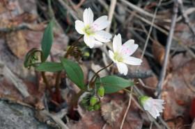 Western Springbeauty (Claytonia lanceolata)