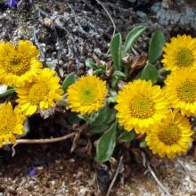 Golden Fleabane (Erigeron aureus)