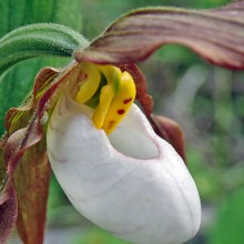 Lady Slipper (Cypripedium montanum)