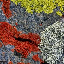 Lichen Medley