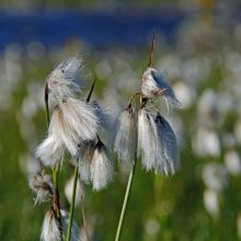 Cotton-grass Meadow