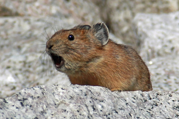 """<p>American Pika, Bugaboo Prov Park, Bugaboo Spire Trail</p><p class=""""lightbox-share""""><span>Share: </span><a class=""""lightbox-fb"""" href=""""javascript:void(0);"""">Facebook</a><a class=""""lightbox-twit"""" href=""""https://twitter.com/home?status=I%20voted%20for%20WINNER!%20Danger%20Call%20in%20the%20Cornice%20Calendar%20Contest.%20Choose%20your%20favourite%206%20photos:%20http://ow.ly/yCSmZ"""" target=""""_blank"""">Twitter</a></p><input type=hidden class=voteid value=1805 />"""