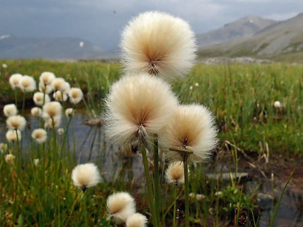 "<p>Cotton-grass, Jasper National Park, Alberta</p><p class=""lightbox-share""><span>Share: </span><a class=""lightbox-fb"" href=""javascript:void(0);"">Facebook</a><a class=""lightbox-twit"" href=""https://twitter.com/home?status=I%20voted%20for%20Nature&#8217;s%20Cottonballs%20in%20the%20Cornice%20Calendar%20Contest.%20Choose%20your%20favourite%206%20photos:%20http://ow.ly/yCSmZ"" target=""_blank"">Twitter</a></p><input type=hidden class=voteid value=1800 />"