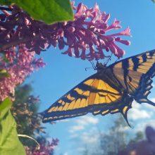 WINNER! Swallowtail