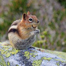 WINNER! Golden-mantled Ground Squirrel