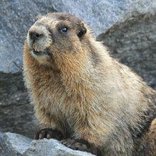 WINNER! Hoary Marmot