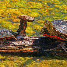 WINNER! Painted Turtles