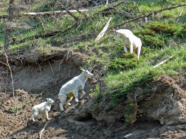 """<p>Mountain Goats (<em>Oreamnos americanus</em>), near Talbot Lake, Jasper National Park, BC</p><p class=""""lightbox-share""""><span>Share: </span><a class=""""lightbox-fb"""" href=""""javascript:void(0);"""">Facebook</a><a class=""""lightbox-twit"""" href=""""https://twitter.com/home?status=I%20voted%20for%20Family%20Outing%20in%20the%20Cornice%20Calendar%20Contest.%20Choose%20your%20favourite%206%20photos:%20http://ow.ly/yCSmZ"""" target=""""_blank"""">Twitter</a></p><input type=hidden class=voteid value=2009 />"""