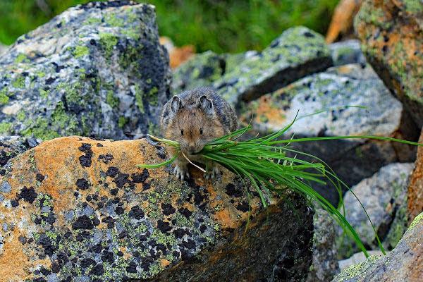 "<p>Pika (<em>Ochotona princeps</em>), Eva Lake Trail, Mount Revelstoke National Park, BC</p><p class=""lightbox-share""><span>Share: </span><a class=""lightbox-fb"" href=""javascript:void(0);"">Facebook</a><a class=""lightbox-twit"" href=""https://twitter.com/home?status=I%20voted%20for%20Harvest%20Time%20in%20the%20Cornice%20Calendar%20Contest.%20Choose%20your%20favourite%206%20photos:%20http://ow.ly/yCSmZ"" target=""_blank"">Twitter</a></p><input type=hidden class=voteid value=2004 />"