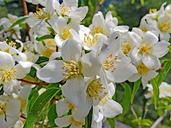 """<p>Mock Orange (<em>Philadelphus lewisii</em>), Eagle Bluffs, Lumby, BC</p><p class=""""lightbox-share""""><span>Share: </span><a class=""""lightbox-fb"""" href=""""javascript:void(0);"""">Facebook</a><a class=""""lightbox-twit"""" href=""""https://twitter.com/home?status=I%20voted%20for%20Nature's%20Perfume%20in%20the%20Cornice%20Calendar%20Contest.%20Choose%20your%20favourite%206%20photos:%20http://ow.ly/yCSmZ"""" target=""""_blank"""">Twitter</a></p><input type=hidden class=voteid value=1999 />"""