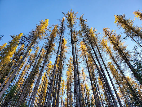 """<p>Western Larch (Larix occidentalis), King Eddy Forest Service Road, Coldstream, BC</p><p class=""""lightbox-share""""><span>Share: </span><a class=""""lightbox-fb"""" href=""""javascript:void(0);"""">Facebook</a><a class=""""lightbox-twit"""" href=""""https://twitter.com/home?status=I%20voted%20for%20Race%20to%20the%20Top%20in%20the%20Cornice%20Calendar%20Contest.%20Choose%20your%20favourite%206%20photos:%20http://ow.ly/yCSmZ"""" target=""""_blank"""">Twitter</a></p><input type=hidden class=voteid value=1995 />"""