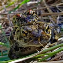 Toad Love