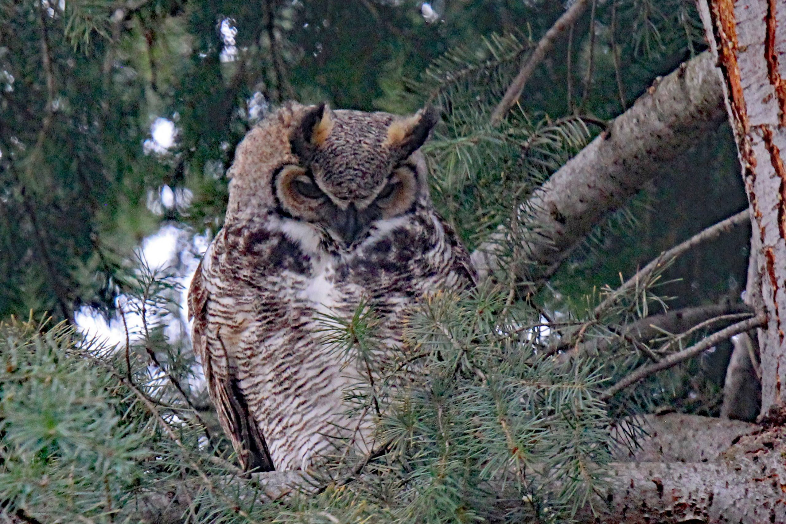"""<p>Young Great Horned Owl (<em>Bubo virginianus</em>), Coldstream, BC</p><p class=""""lightbox-share""""><span>Share: </span><a class=""""lightbox-fb"""" href=""""javascript:void(0);"""">Facebook</a><a class=""""lightbox-twit"""" href=""""https://twitter.com/home?status=I%20voted%20for%20Watch%20Out%20in%20the%20Cornice%20Calendar%20Contest.%20Choose%20your%20favourite%206%20photos:%20http://ow.ly/yCSmZ"""" target=""""_blank"""">Twitter</a></p><input type=hidden class=voteid value=2017 />"""